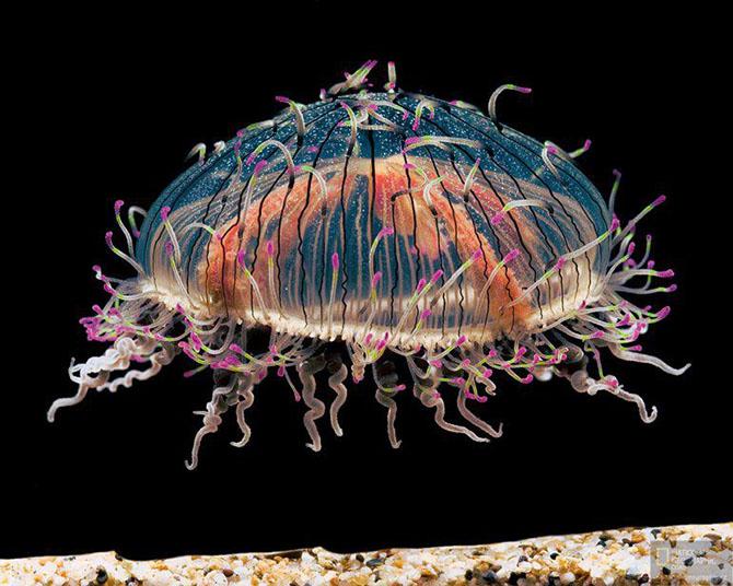 Одни из самых красивых медуз в мире