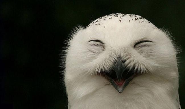 Смеющиеся совы