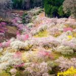 Цветущая сакура в 2014г