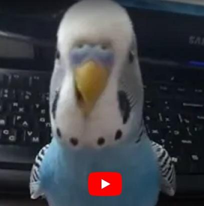 Говорящий попугай Миша. Реинкарнация